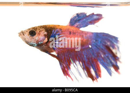Male Siamese Fighting Fish (Betta splendens) underneath the water's surface - Stock Photo