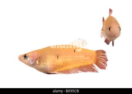 Siamese Fighting Fish, female (Betta splendens) - Stock Photo