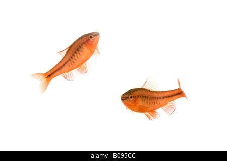 Cherry Barb fish (Puntius titteya) - Stock Photo