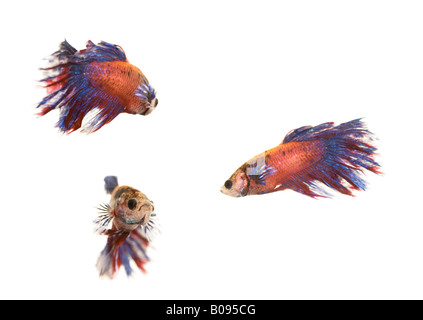 Siamese Fighting Fish, male (Betta splendens) - Stock Photo