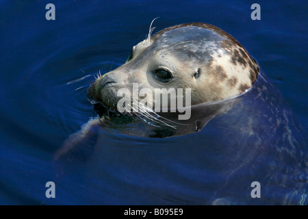 Common or Harbour Seal (Phoca vitulina) poking its head out of the water - Stock Photo