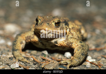Common Toad (Bufo bufo), Germany, Europe - Stock Photo