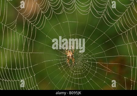 European Garden Spider or Cross Spider (Araneus diadematus), spiderweb - Stock Photo