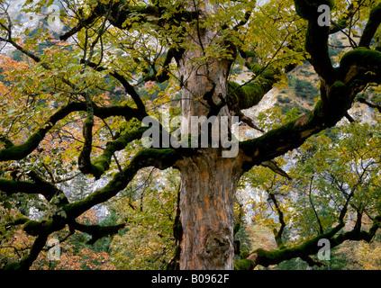 Sycamore Maple (Acer pseudoplatanus), Grosser Ahornboden, Karwendel Range, Tyrol, Austria, Europe Stock Photo