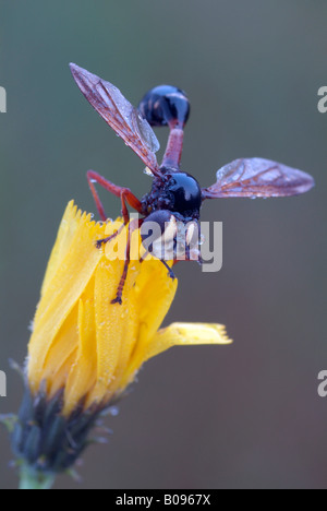 Thick-headed Fly, Wasp Fly (Physocephala rufipes) perched on a yellow blossom, Filz, Woergl, Tyrol, Austria, Europe - Stock Photo