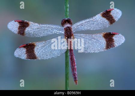 Banded Darter dragonfly (Sympetrum pedemontanum) covered in dewdrops, Filz, Woergl, North Tirol, Austria - Stock Photo