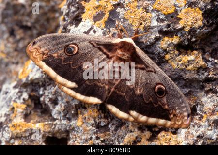 Giant Peacock Moth or Great Emperor Moth (Saturnia pyri) - Stock Photo