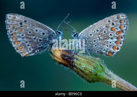 Two Common Blue butterflies (Polyommatus icarus) facing one another, North Tirol, Austria - Stock Photo