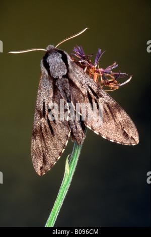 Pine Hawk-moth (Hyloicus pinastri, Sphinx pinastri), Schwaz, Tirol, Austria - Stock Photo