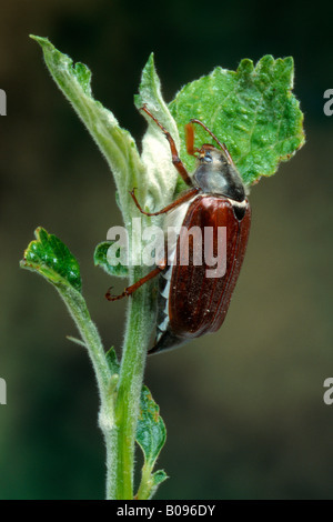 Common Cockchafer or May Bug (Melolontha melolontha), Schwaz, Tirol, Austria
