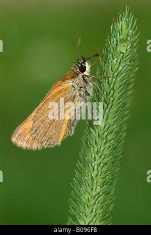 Small Skipper butterfly (Thymelicus sylvestris), Angerberg, Tirol, Austria - Stock Photo