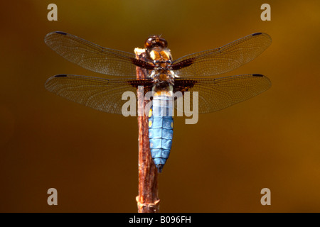 Broad-bodied Chaser dragonfly (Libellula depressa) - Stock Photo