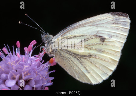 Green-veined White butterfly (Pieris napi) perched on a blossom, Tirol, Austria - Stock Photo