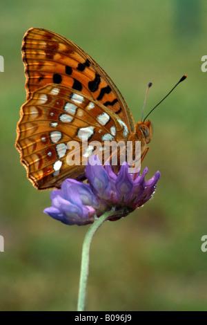 Niobe Fritillary butterfly (Argynnis niobe) perched on a purple blossom, Kramsach, Tirol, Austria - Stock Photo