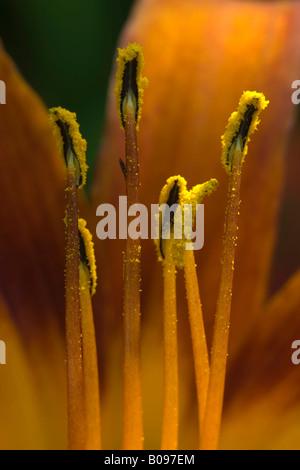 Fire Lily or Orange Lily (Lilium bulbiferum), garden variety, Andre Heller's Botanical Gardens, Monte Baldo, Lake - Stock Photo