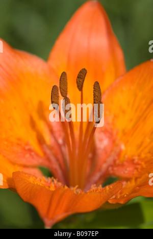 Fire Lily or Orange Lily (Lilium bulbiferum), Achensee, Tyrol, Austria, Europe - Stock Photo