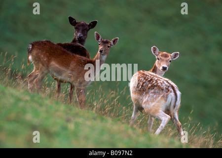 Fallow Deer (Dama dama), Aurach, Tyrol, Austria, Europe - Stock Photo