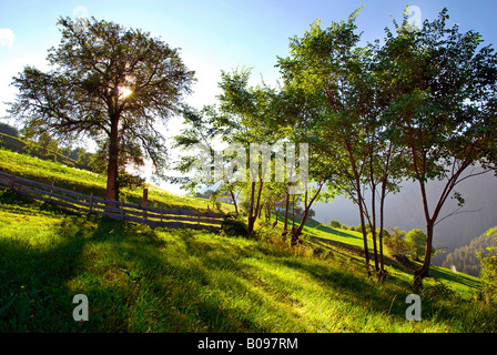 Early morning light shining through a grove of trees on a mountain meadow near Tiers, Bolzano-Bozen, Italy - Stock Photo