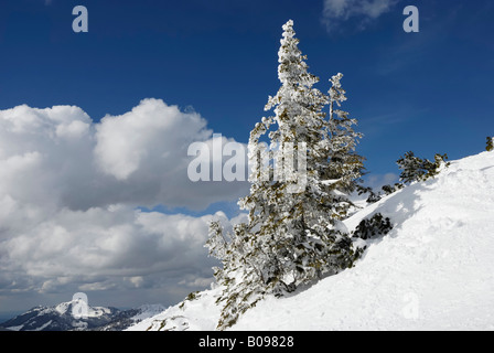 Snow-covered Norway Spruce (Picea abies), Chiemgau, Bavarian Alps, Bavaria, Germany - Stock Photo