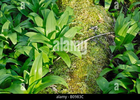 Wild - or Bear's Garlic leaves (Allium ursinum) on a moss-covered tree trunk in Auenwald Forest, Kaltenaue near - Stock Photo