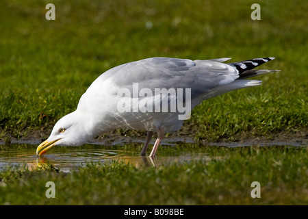 Herring Gull (Larus argentatus) drinking water from a puddle, Buesum, North Sea coast, Schleswig-Holstein, Germany - Stock Photo