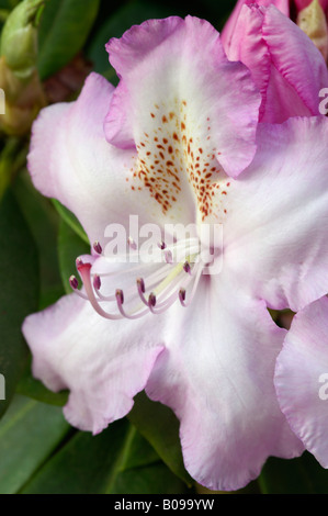 RHODODENDRON MRS CHARLES E PEARSON - Stock Photo