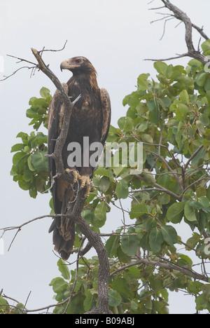 Wedge tailed eagle Aquila audax - Stock Photo