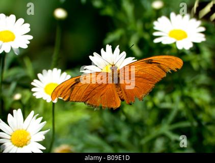 Butterfly (Dryas iulia, Dryas julia, Julia heliconian) - Stock Photo