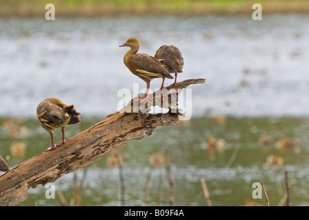 Plumed whistling ducks, queensland, australia - Stock Photo