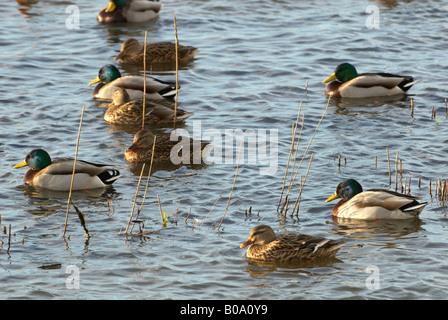 WWT Welney Mallard Anas platyrhynchos male and female birds - Stock Photo