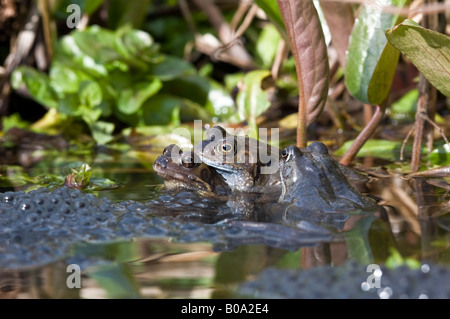 Common frogs (rana temporaria) mating in a garden pond. - Stock Photo