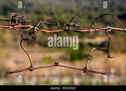 Cut vines from the previous year left on the guide wire in a vineyards in the Corbieres wine region of France during - Stock Photo