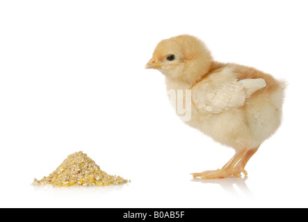 Baby chicken having a meal - Stock Photo