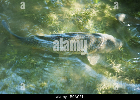 Koi carp fish swimming in london aquarium london se1 stock for Koi pool water gardens poulton