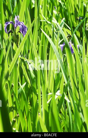 Purple irises and leaves, close-up - Stock Photo