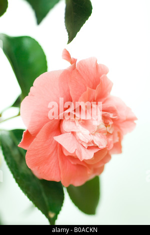 Pink camellia flower, close-up - Stock Photo