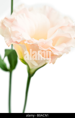 Lisianthus, close-up - Stock Photo