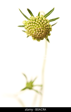 Scabiosa flower bud, close-up - Stock Photo