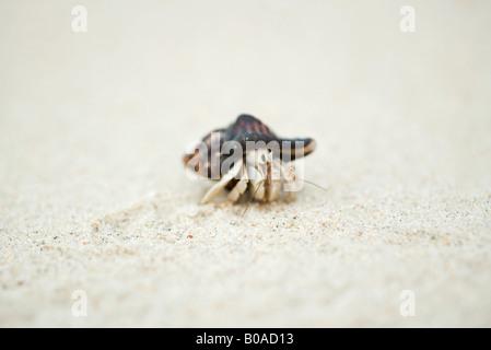 Hermit crab, close-up - Stock Photo