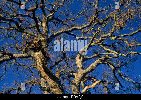 Morning light on oak tree in the foothills near Plymouth Amador County California - Stock Photo