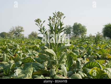 Tobacco plants with maturing leaves, flowers, and buds in a tobacco farm in Gujarat where tobacco is grown on a - Stock Photo