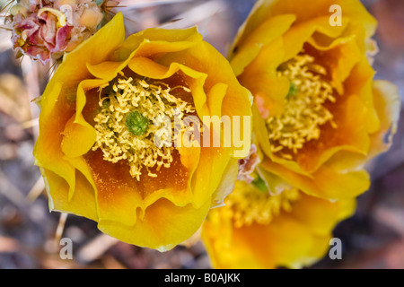 Orange, yellow and red Prickly Pear cactus blossoms - Stock Photo