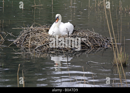 Mute Swan on a nest at Cannop Pond Forest of Dean - Stock Photo