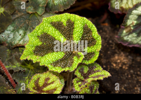 Iron Cross Begonia, Järnkorsbegonia (Begonia masoniana) - Stock Photo