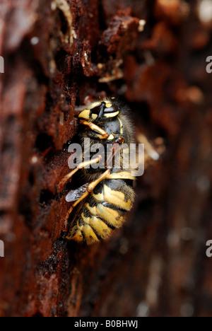 Hibernating Common Wasp (Vespula vulgaris) queen - Stock Photo