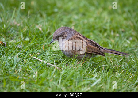 dunnock or hedge sparrow looking for food on a lawn - Stock Photo