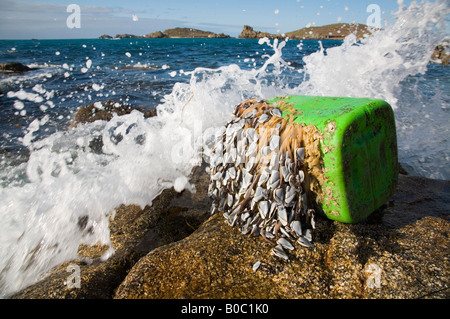 goose barnacles Lepas anatifera attached to debris and washed up on bryher isles of scilly - Stock Photo