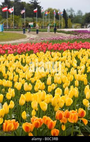 Tulip fields of Mt. Vernon, Skagit County, WA - Stock Photo