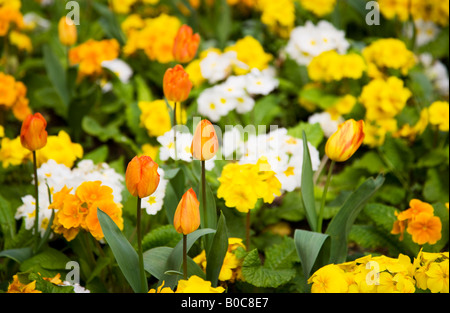 Orange tulips and yellow, white and orange primulas or primroses in a mixed spring border. - Stock Photo