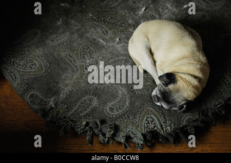 Pug dog curled up sleeping on paisley bed - Stock Photo